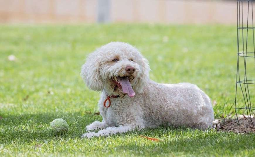 Lagotto Shop Gifts and Merchandise
