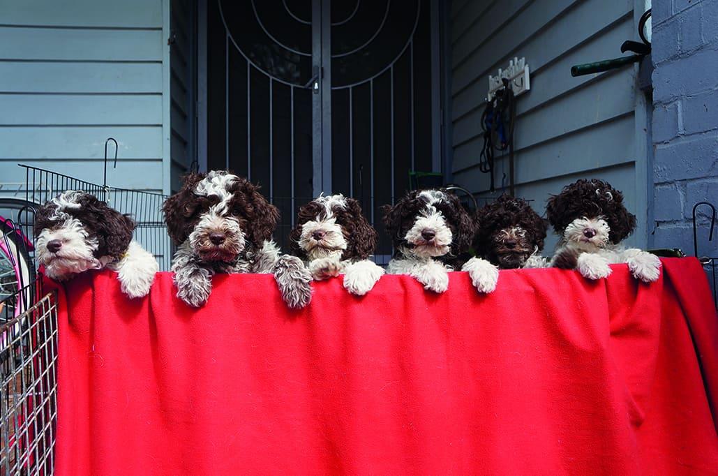 Lagotto puppies